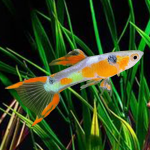 Pair of Gold Pin Tail Dwarf Guppy