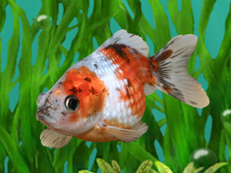 Goldfish Calico Pearlscale