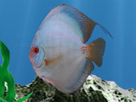 Discus Reflection D (High Body)