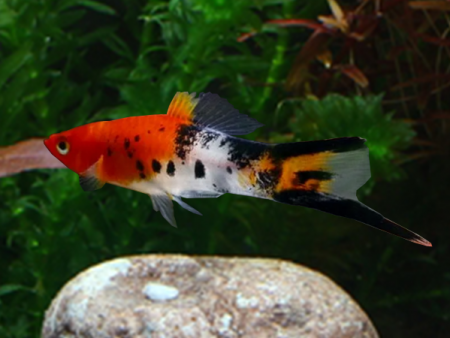 Tricolor Wagtail Swordtail