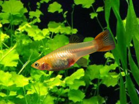 Orange Dwarf Guppy Females