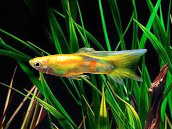 Pair of Blonde Dwarf Guppy