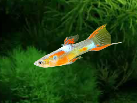 Gold Pin Tail Dwarf Guppy Males