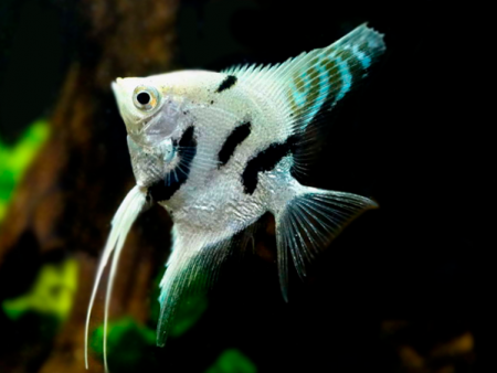 Diamond Marble V/T Angelfish