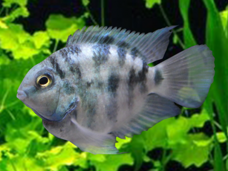 Black And White Blood Parrot Cichlid