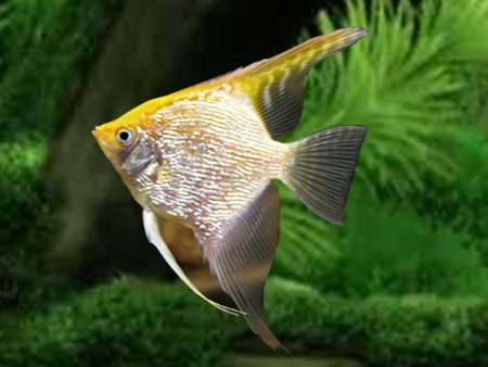 Diamond Gold V/T Angelfish
