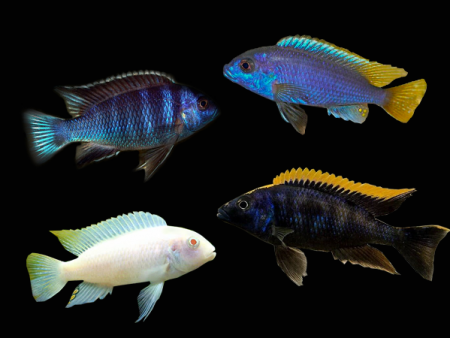 Pseudotropheus sp. «Assorted»