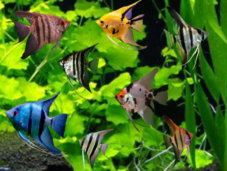 Assorted V/T Angelfish