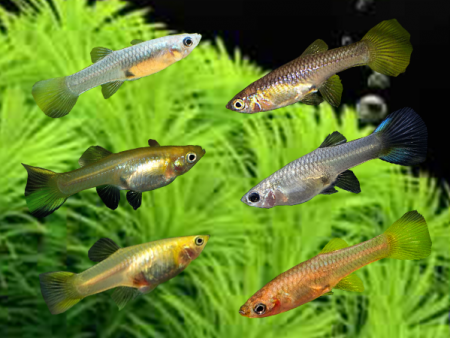 Assorted Dwarf Guppy Females