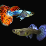 Pair of Mosaic Dumbo Ear Guppy