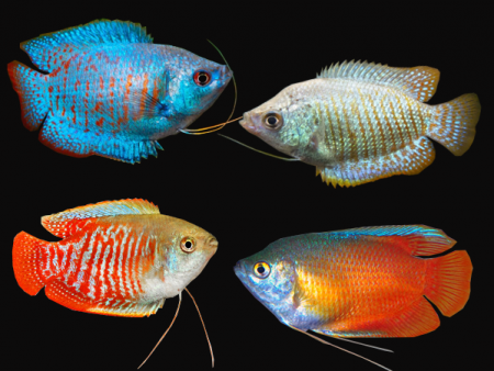Pair of Assorted Trichogaster lalius
