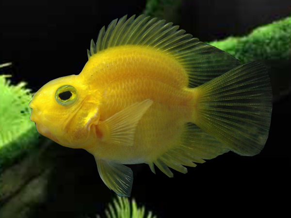 Yellow Blood Parrot Cichlid