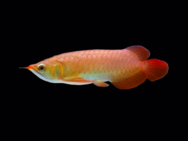 Scleropages formosus «Red Tail Golden»