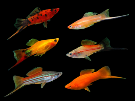 Assorted Swordtail Platies