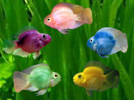 Assorted Colurs Blood Parrot Cichlid