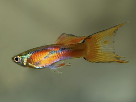 Red Flame Double Sword Dwarf Guppy