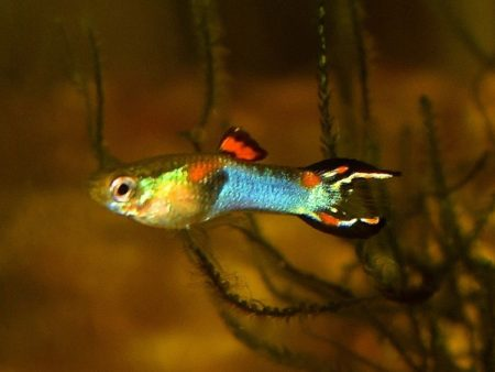 Blue Black Bar Dwarf Guppy