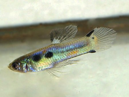 Blue Green Rainbow Dwarf Guppy