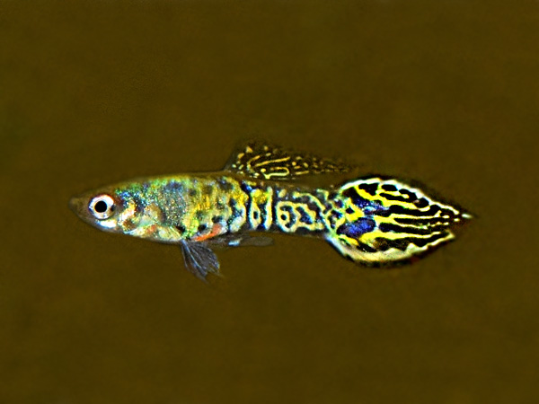 Selected Yellow Tiger Spade Tail Dwarf Guppy