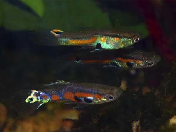 Variable Red Spotted Dwarf Guppy
