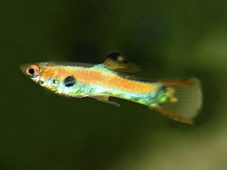 Vietnamese Green Orange Dwarf Guppy