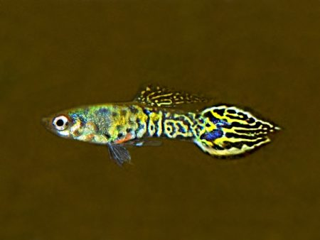Selected Dwarf Guppy Pairs