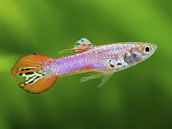 Metallic Magenta Red Tail Dwarf Guppy