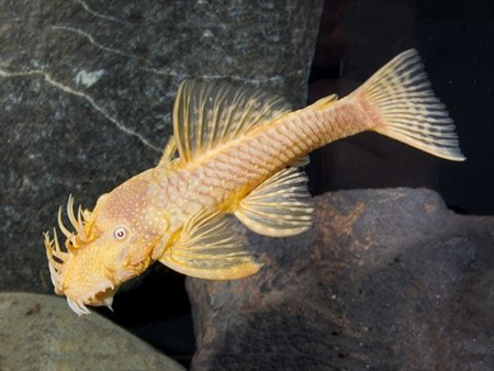 Ancistrus sp. Albino