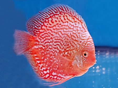 Discus Red Stardust