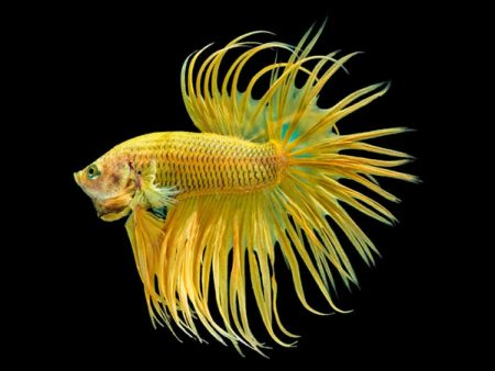Yellow Crowntail Betta