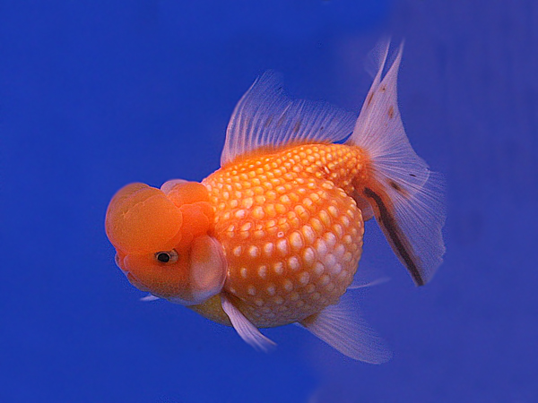 Goldfish Crown Pearlscale Red