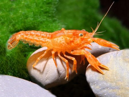Mexican Dwarf Crayfish