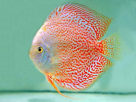 Snow Eruption Leopard Discus