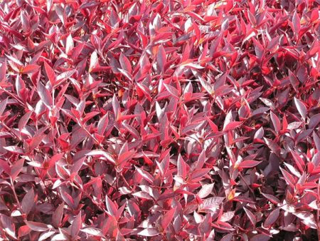 Alternanthera bettzickiana «Red»