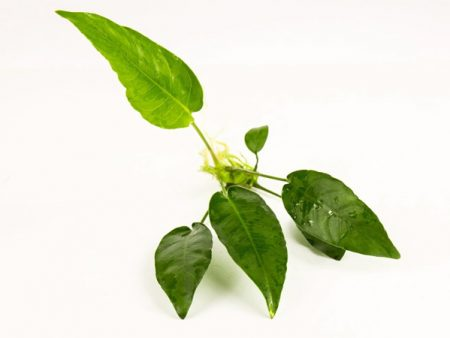 Anubias sp. Short & Sharp