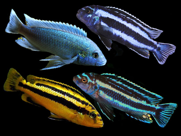 Assorted Melanochromis species
