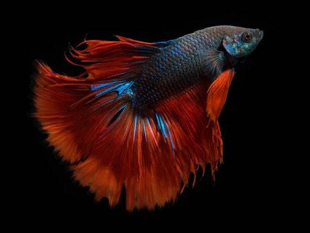 Bicolour Betta (Male)
