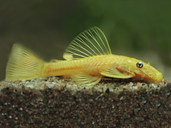 Ancistrus sp. Blue Eye Albino