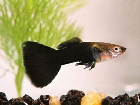 Pair of Half Black Dwarf Guppy
