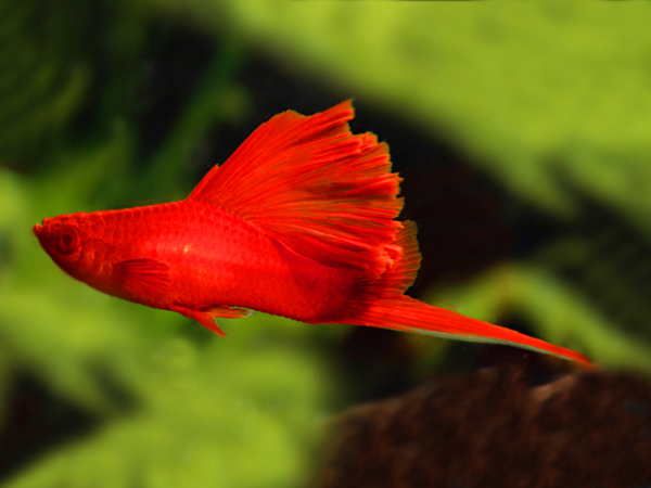 Blood Red Cauliflower Swordtail