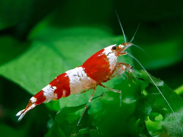 Crystal Red S Grade Shrimp